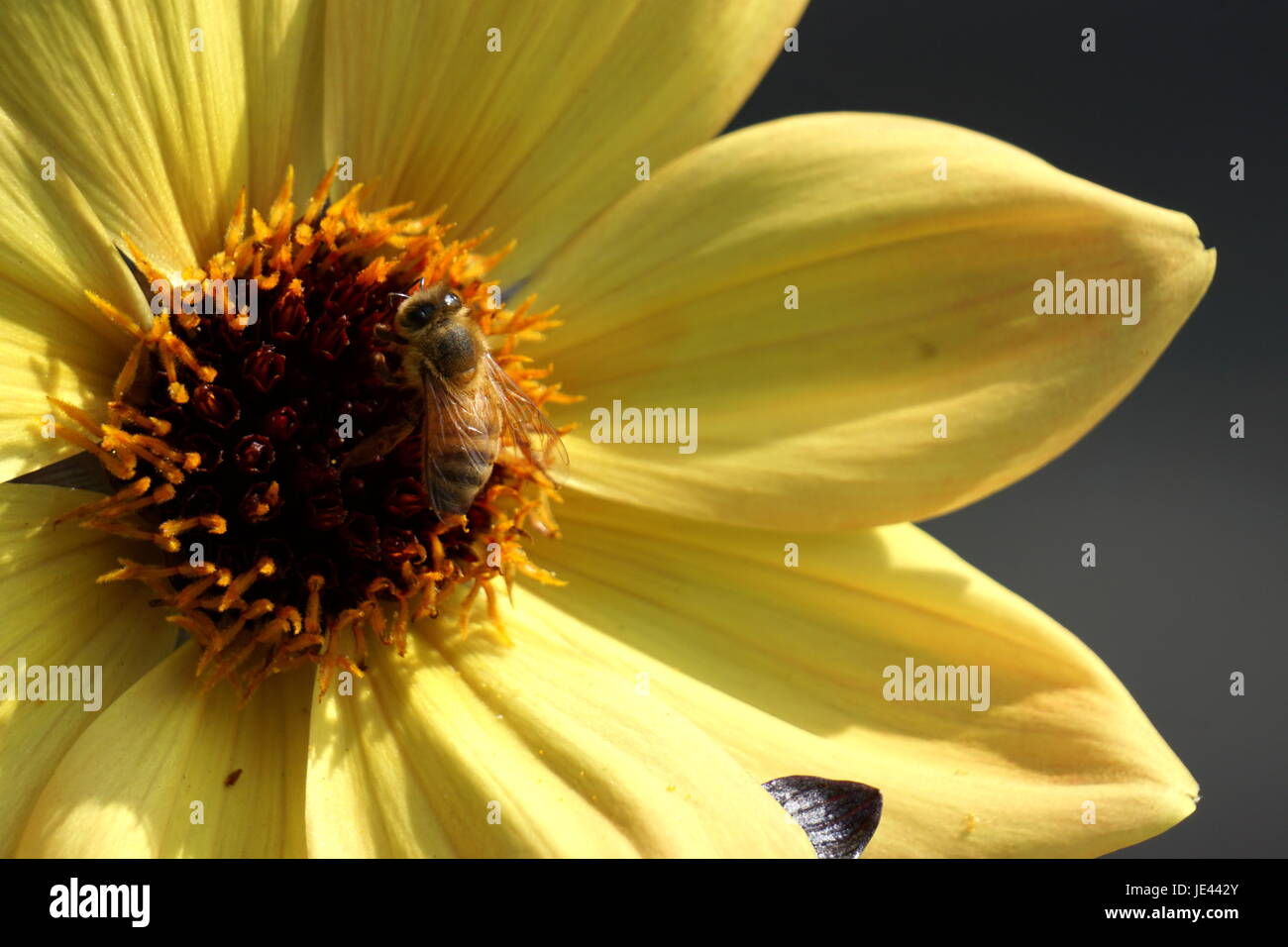 Close-up of bee pollinating yellow flower - Stock Image