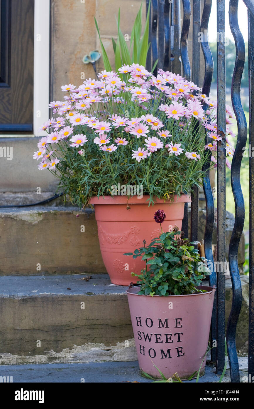 Pink Chrysanthemum flowers in flowerpots on a stone steps, Home sweet Home - Stock Image