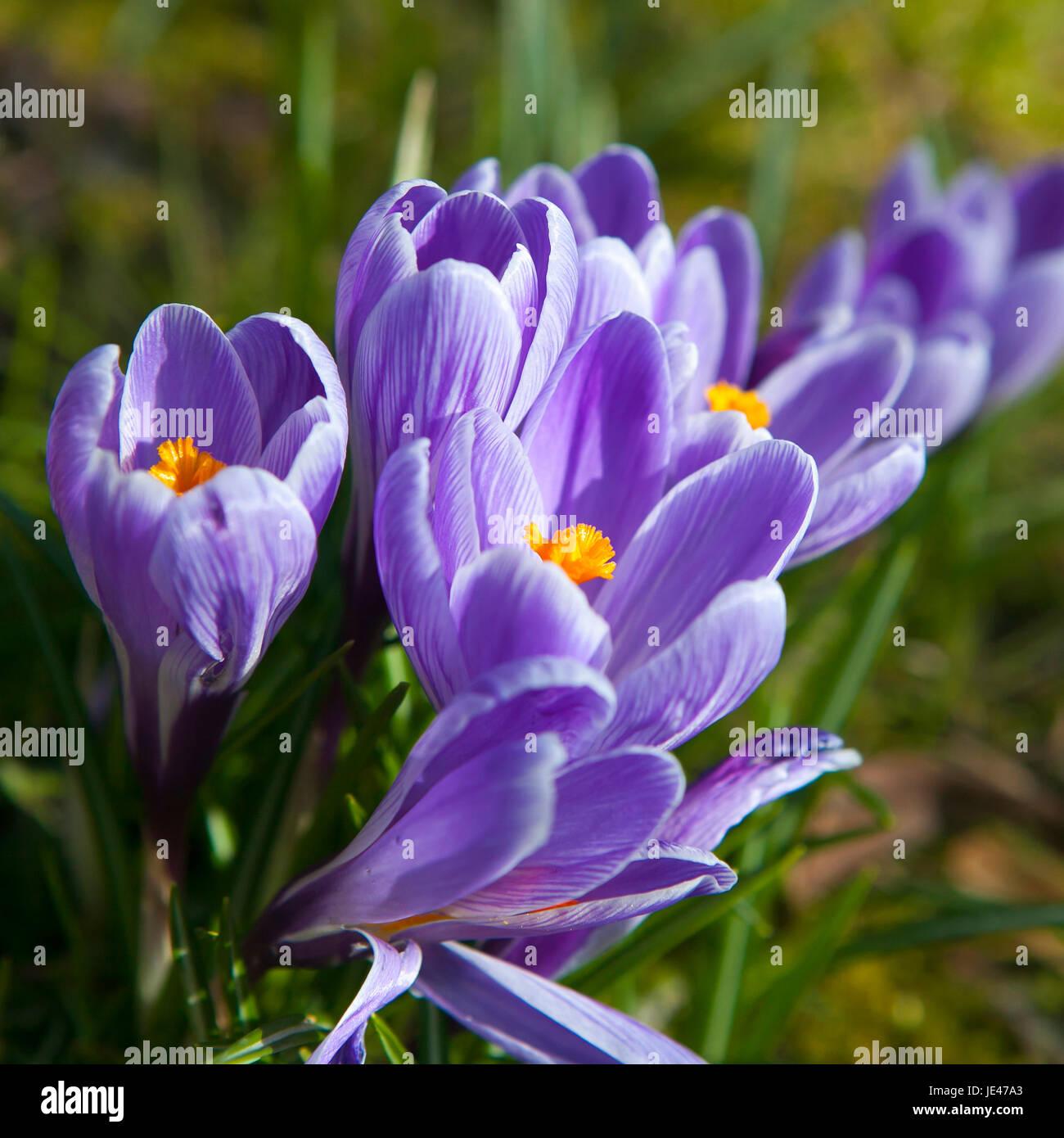 crocus (Crocus tommasinianus), blooming - Stock Image