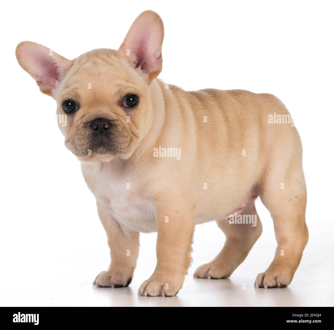 Cute Puppy French Bulldog Puppy Standing Looking At Viewer 7