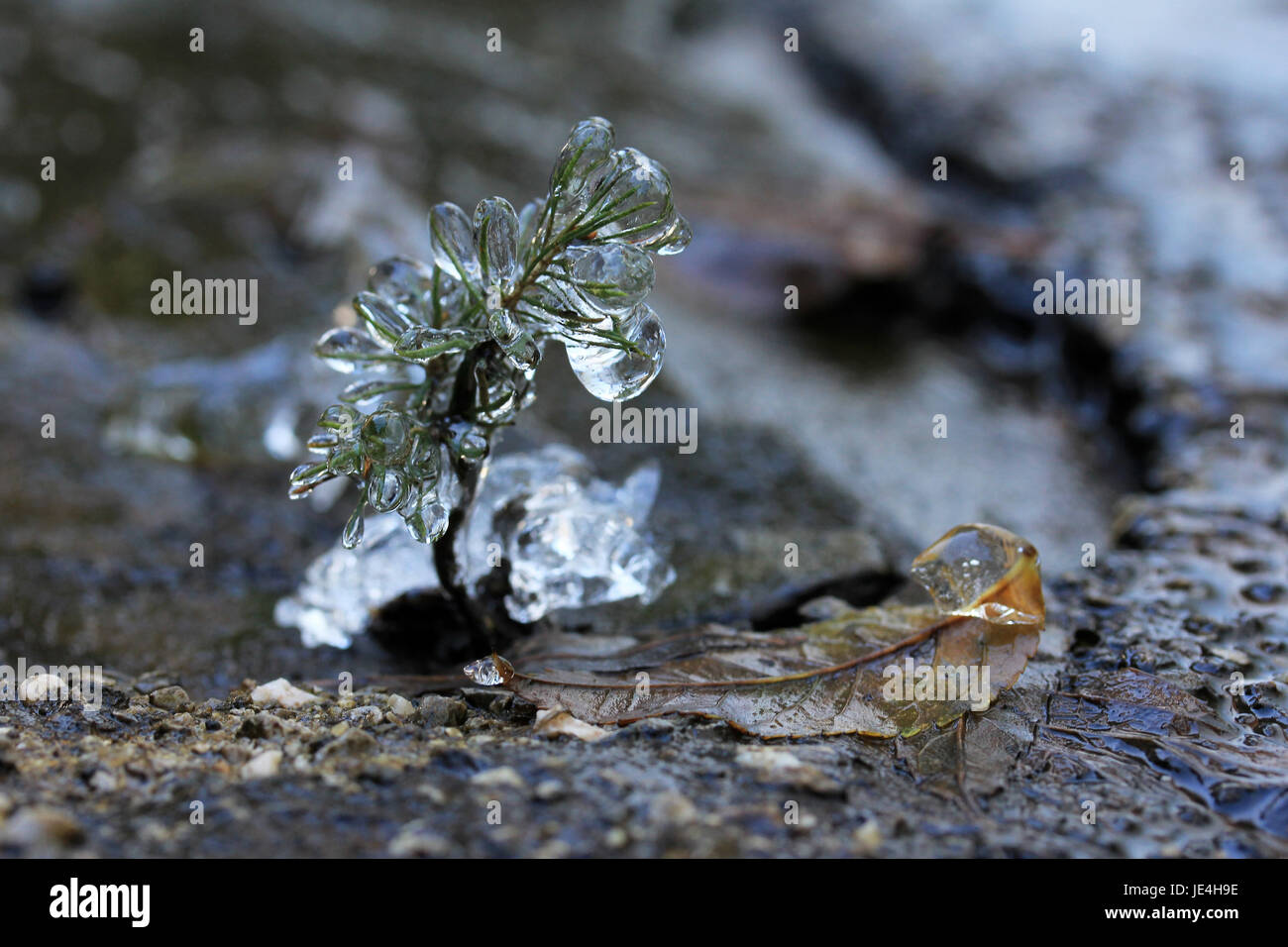 ice layer on a plant Stock Photo