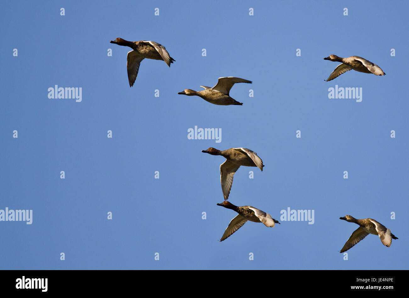 Flock of Redheads Flying in a Blue Sky - Stock Image