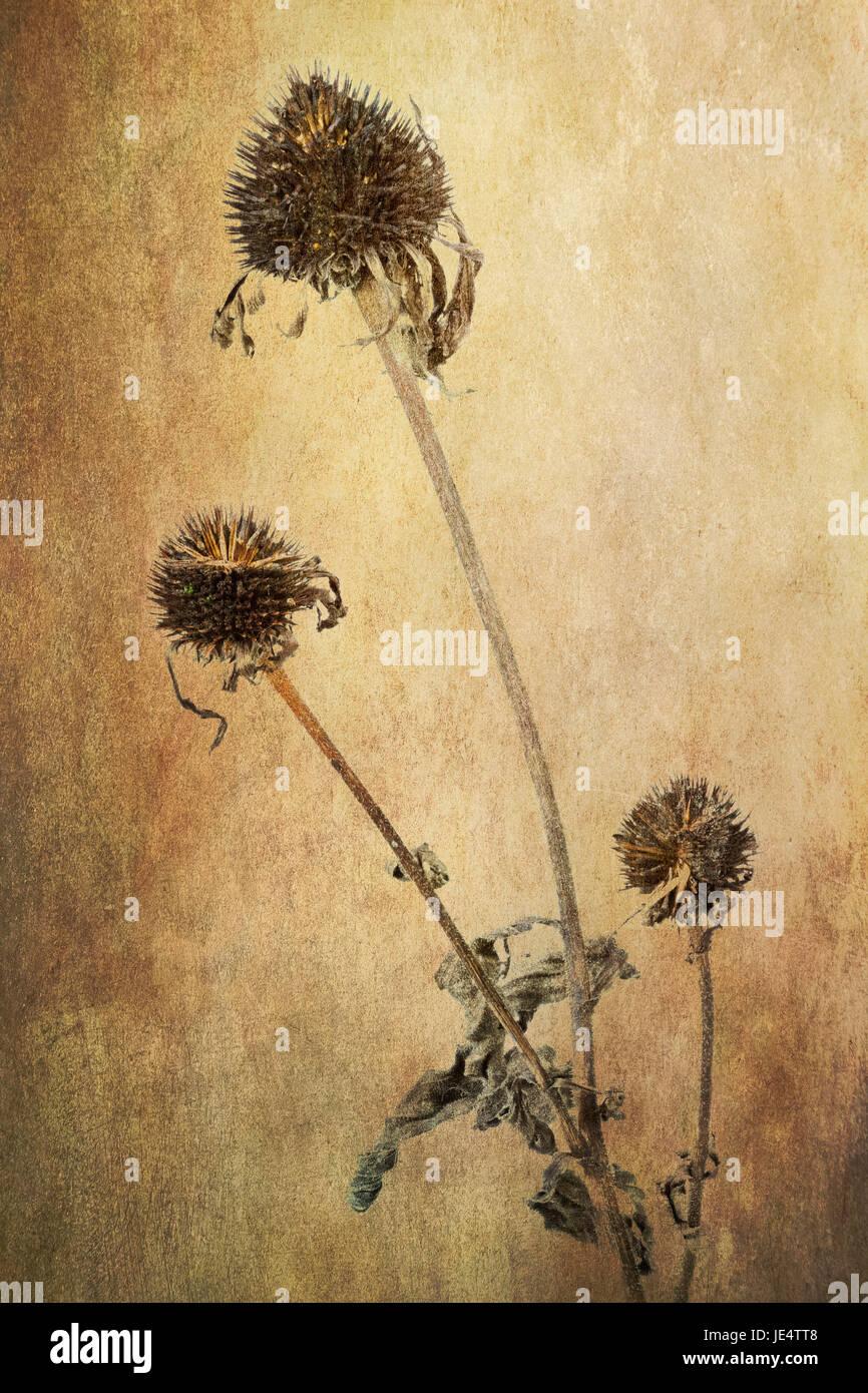 Sonnenhut (Echinacea), verblüht - Stock Image