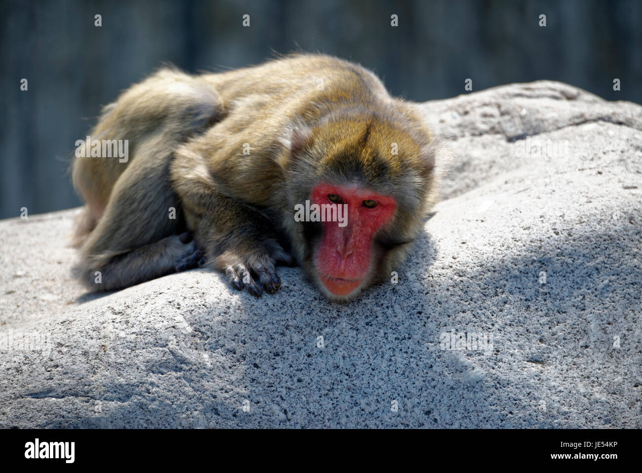 This Japanese Macaque (Macaca fuscata) is enjoying the sun lying on a huge rock. - Stock Image