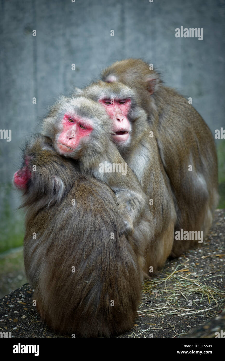 Japanese macaques (Macaca fuscata)) are warming each other by sitting closely together. - Stock Image