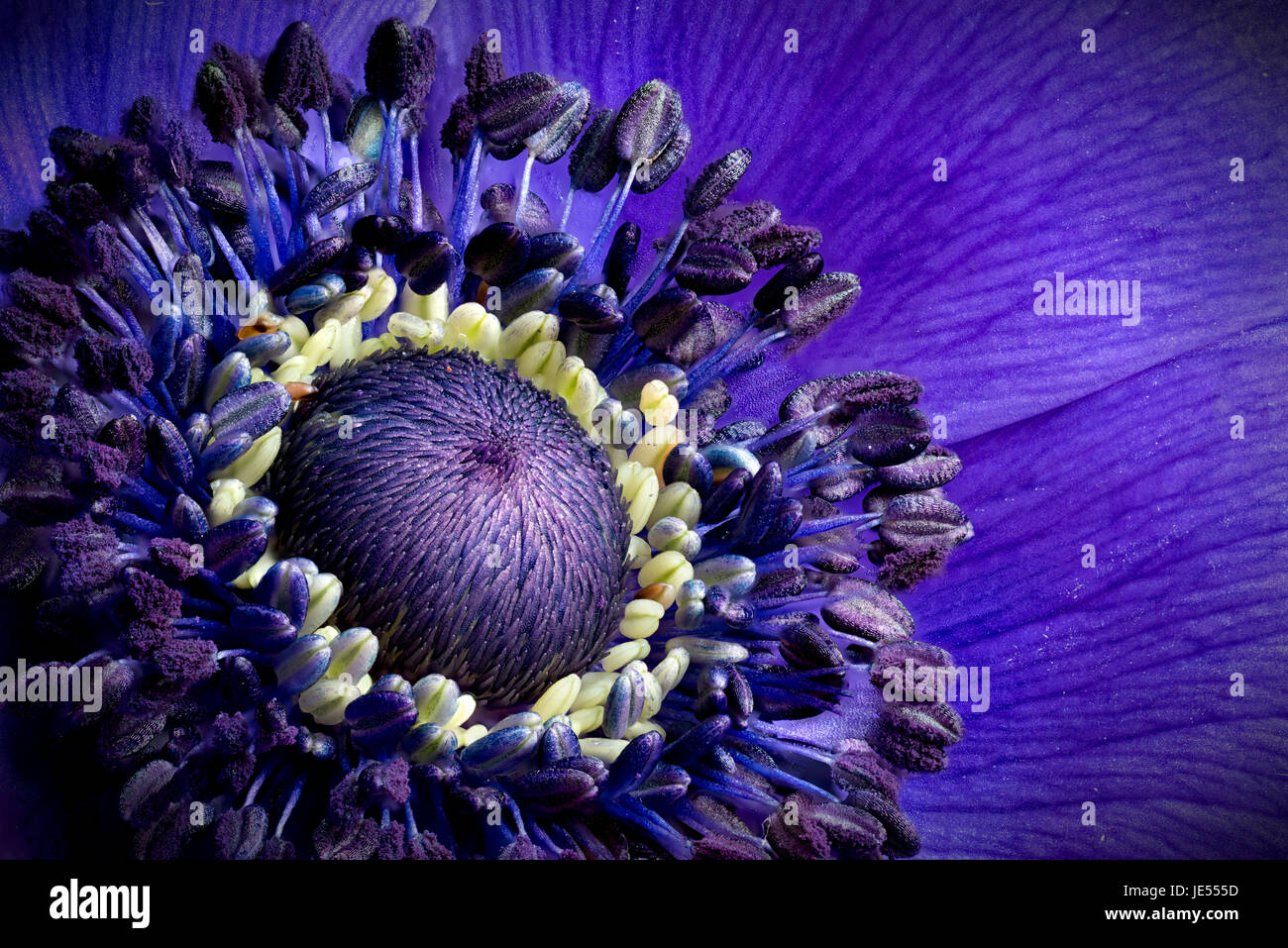 Focus stacking is showing the tiny details of an anemone. - Stock Image
