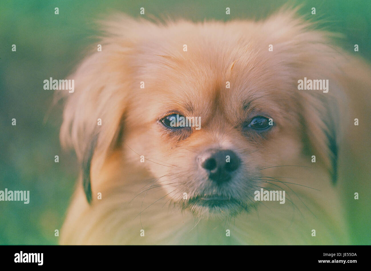 Expired film photo of pekingese dog portrait - Stock Image