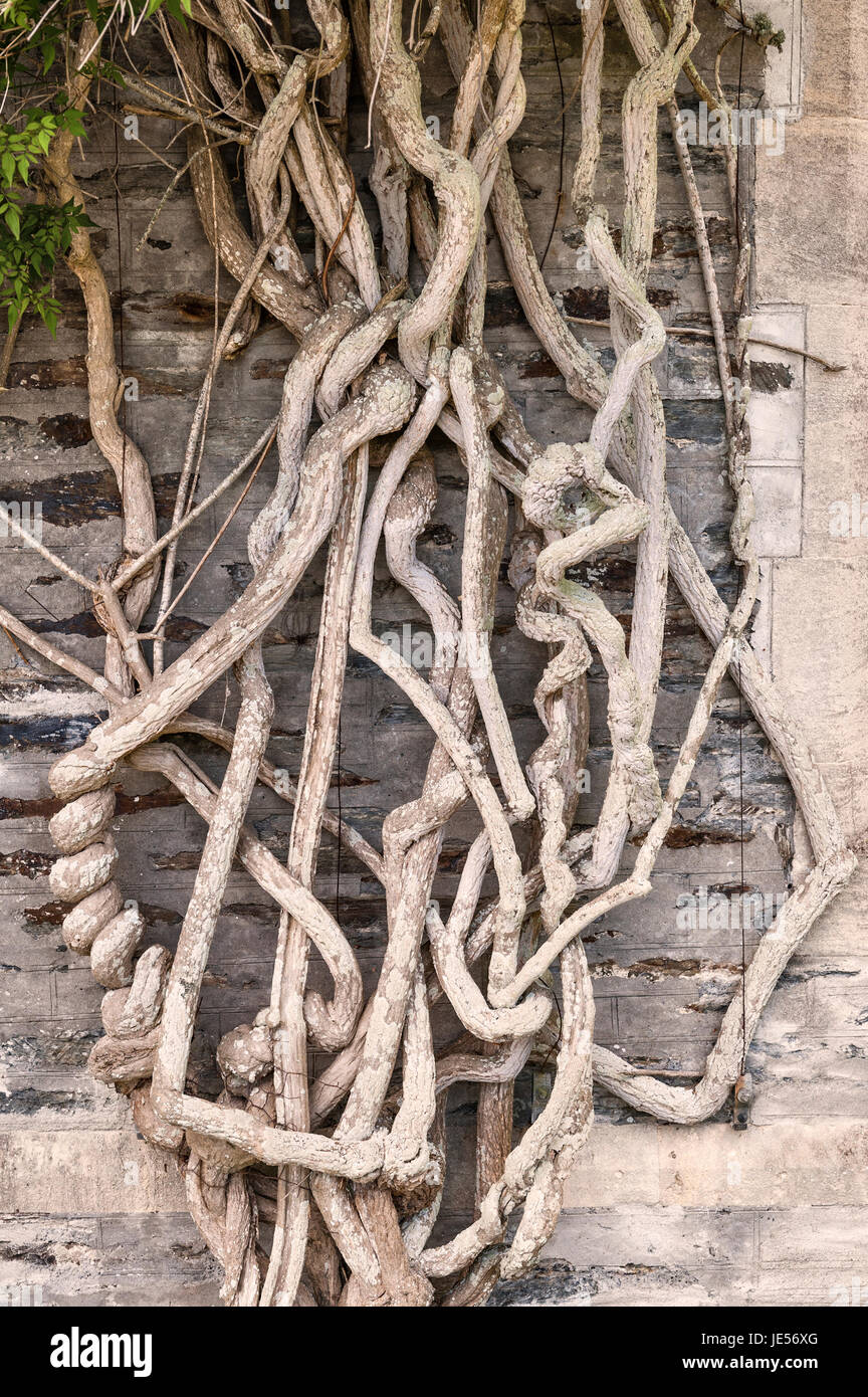 Old tangled wisteria stems on an old garden wall, UK - Stock Image