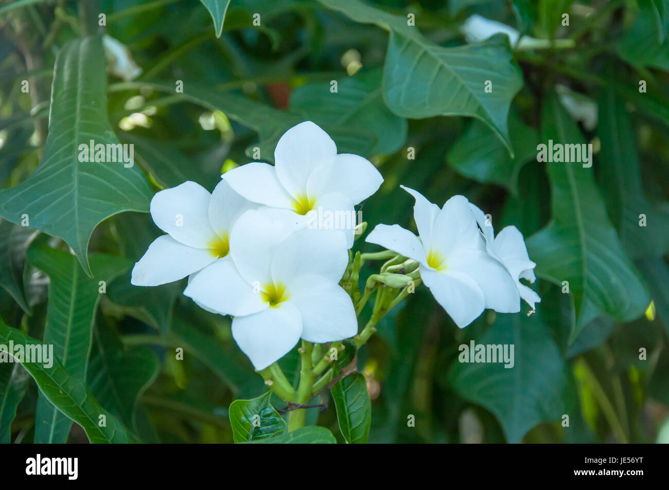 Beautiful white flowers and fresh name plumeria pudica endurance is beautiful white flowers and fresh name plumeria pudica endurance is excellent all year flower breeding is so easy the area is very beautiful flowers mightylinksfo