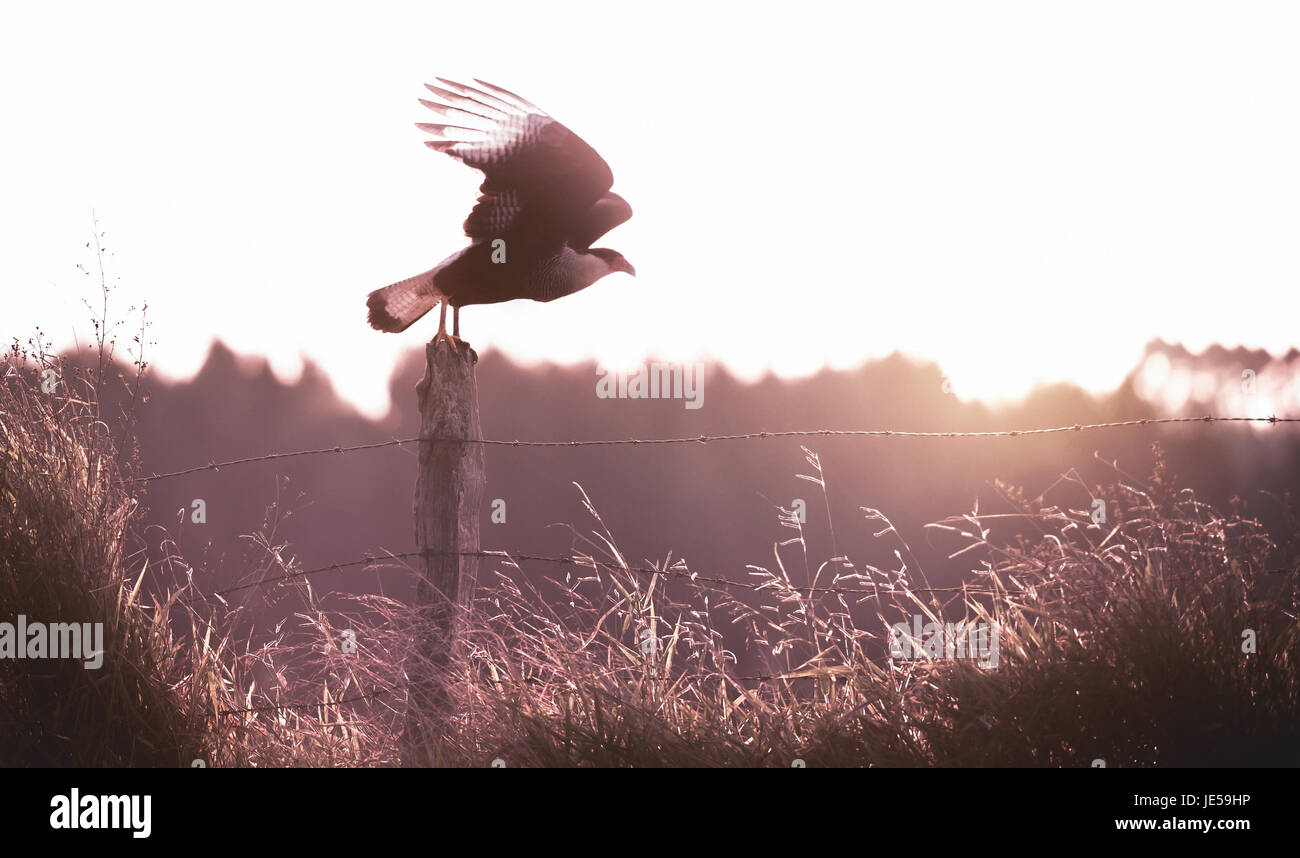 Bird of prey on the fence leaving for the flight. - Stock Image