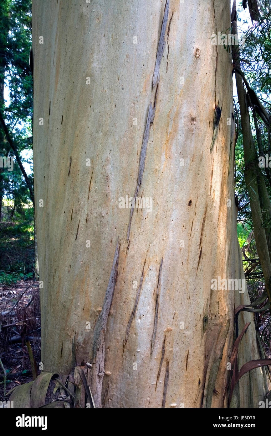 Peppermint Gum Or White Peppermint Eucalyptus Pulchella Trunk It S Stock Photo Alamy