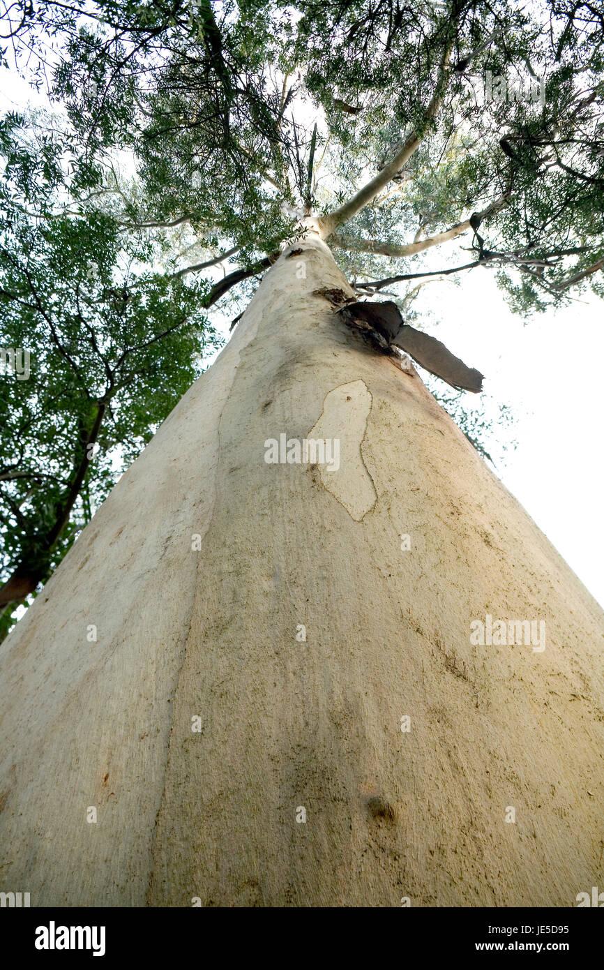 Tasmanian bluegum, Eucalyptus globulus labill. Trunk. It's a native tree from Tasmania and Southern Victoria - Stock Image
