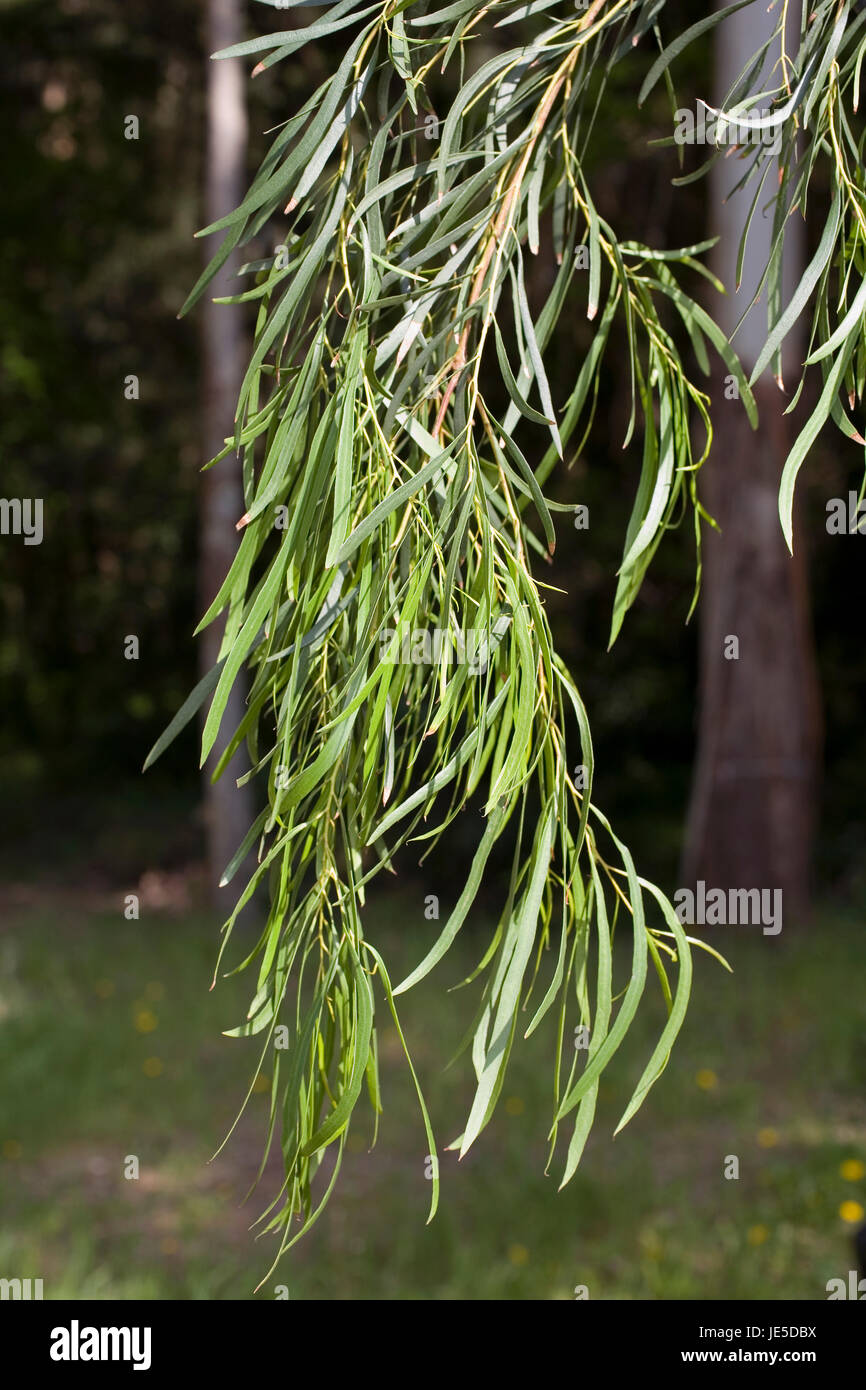 Peppermint Gum Or White Peppermint Eucalyptus Pulchella Branch With Stock Photo Alamy