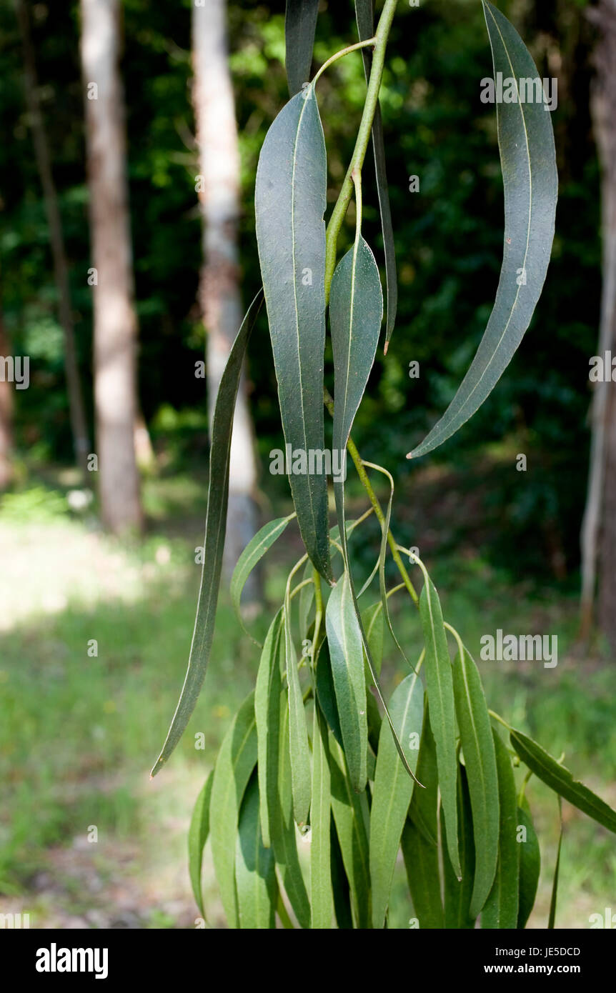 Tasmanian bluegum, Eucalyptus globulus labill. Branch with leaves. It's a native tree from Tasmania and Southern - Stock Image