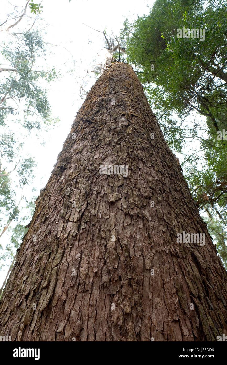 Tasmanian bluegum, Eucalyptus globulus. Trunk. It's a native tree from Tasmania and Southern Victoria in Australia. - Stock Image