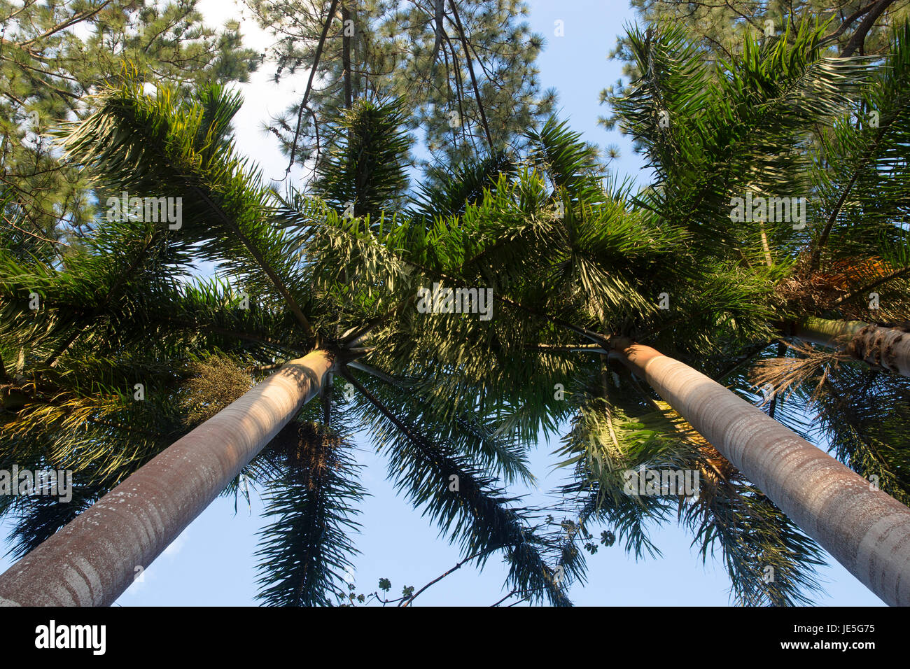 Sky View/ Palm trees - Stock Image
