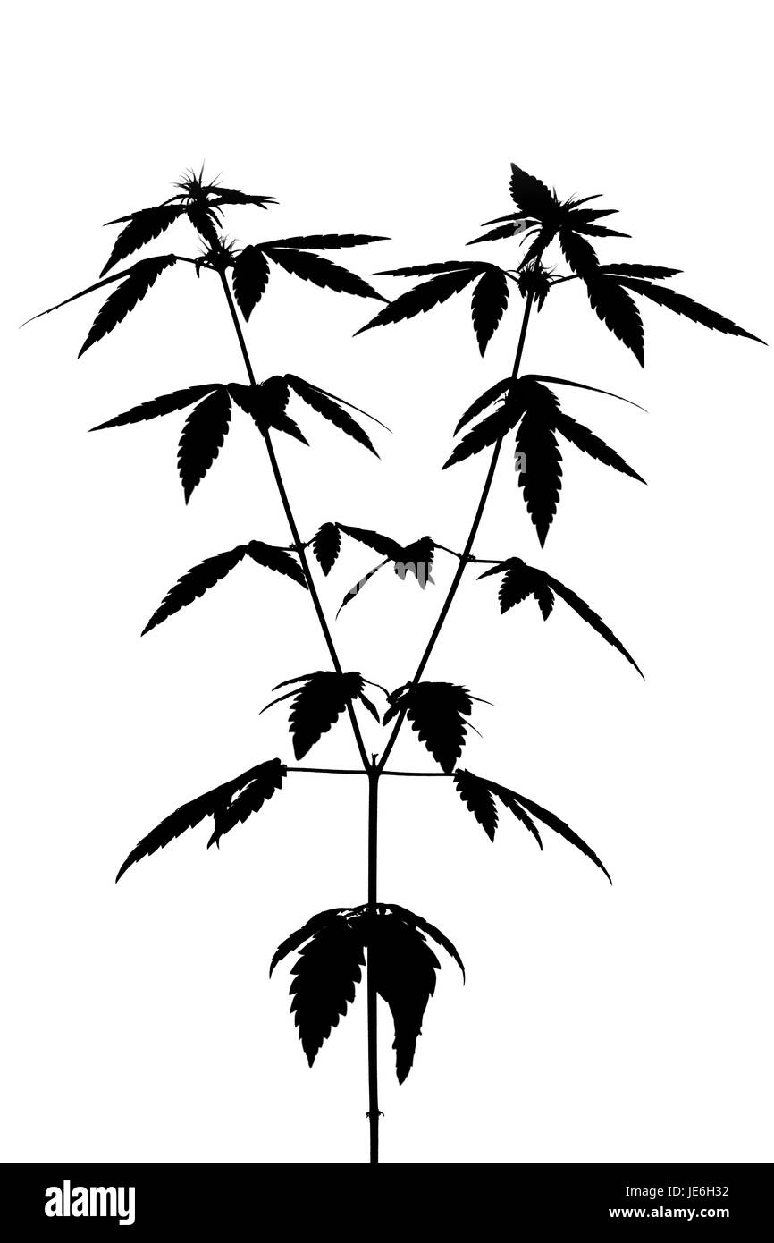 cannabis plant black and white stock photos amp images alamy