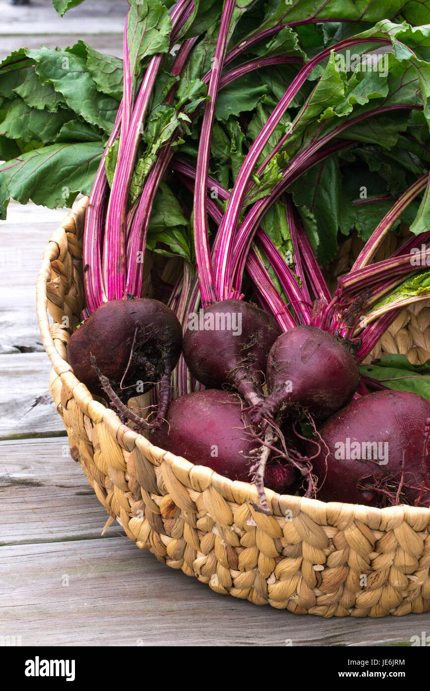 Closeup-Fresh Beets from the garden with rich red colors set off by the green leaves - healthy farm to table food. - Stock Image