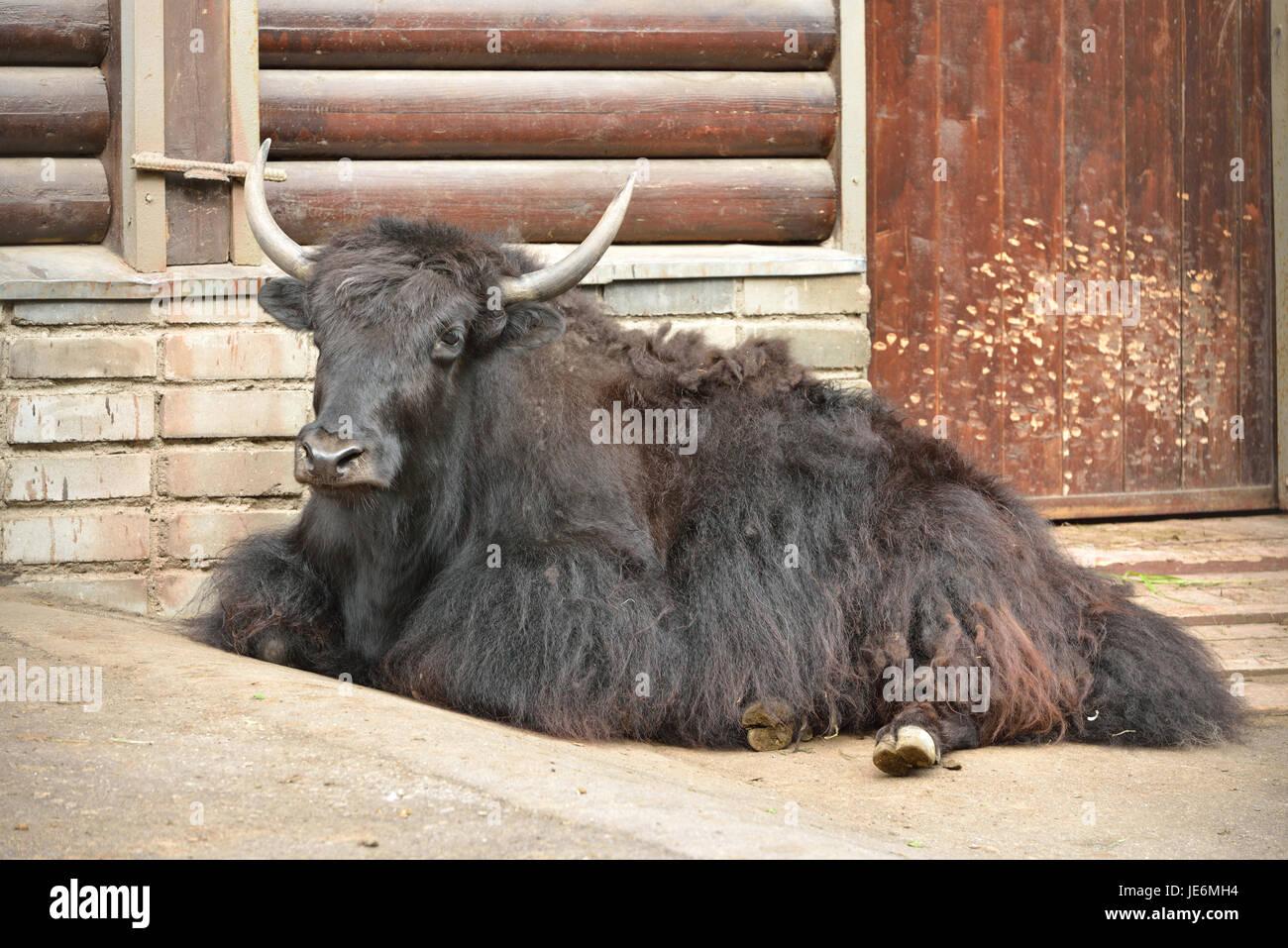 Wild yak (Bos mutus) resting - Stock Image
