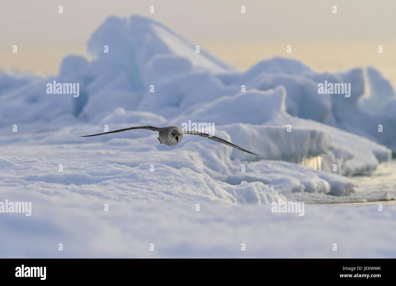 North America, Canada, Nordkanada, Nunavut, Baffin Iceland, Pond, Inlet, Eclipse sound, fulmar, Fulmarus gacialis, - Stock Image