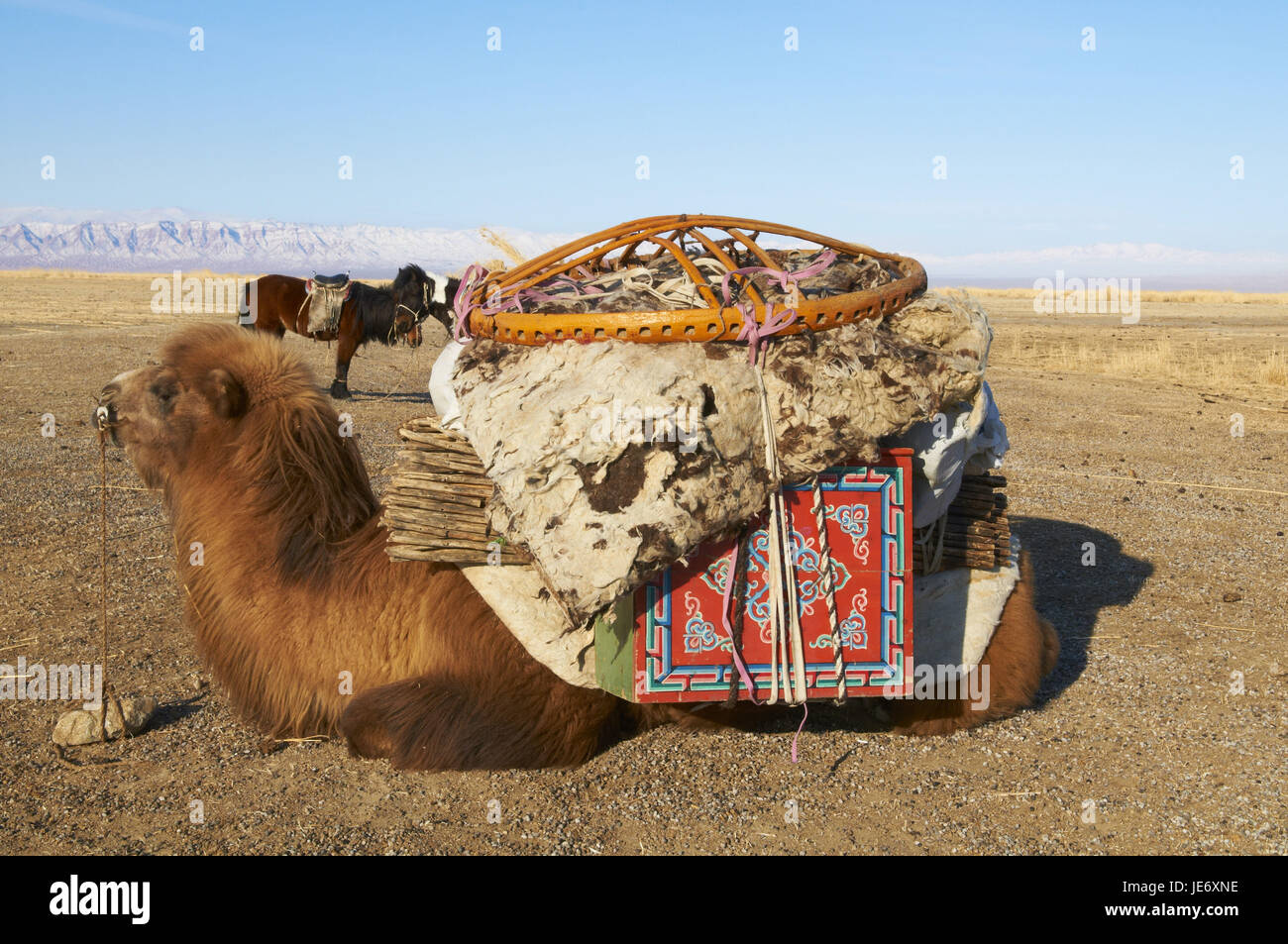 Mongolia, Khovd province, nomad's warehouse, camel with costs, steppe, winter, - Stock Image