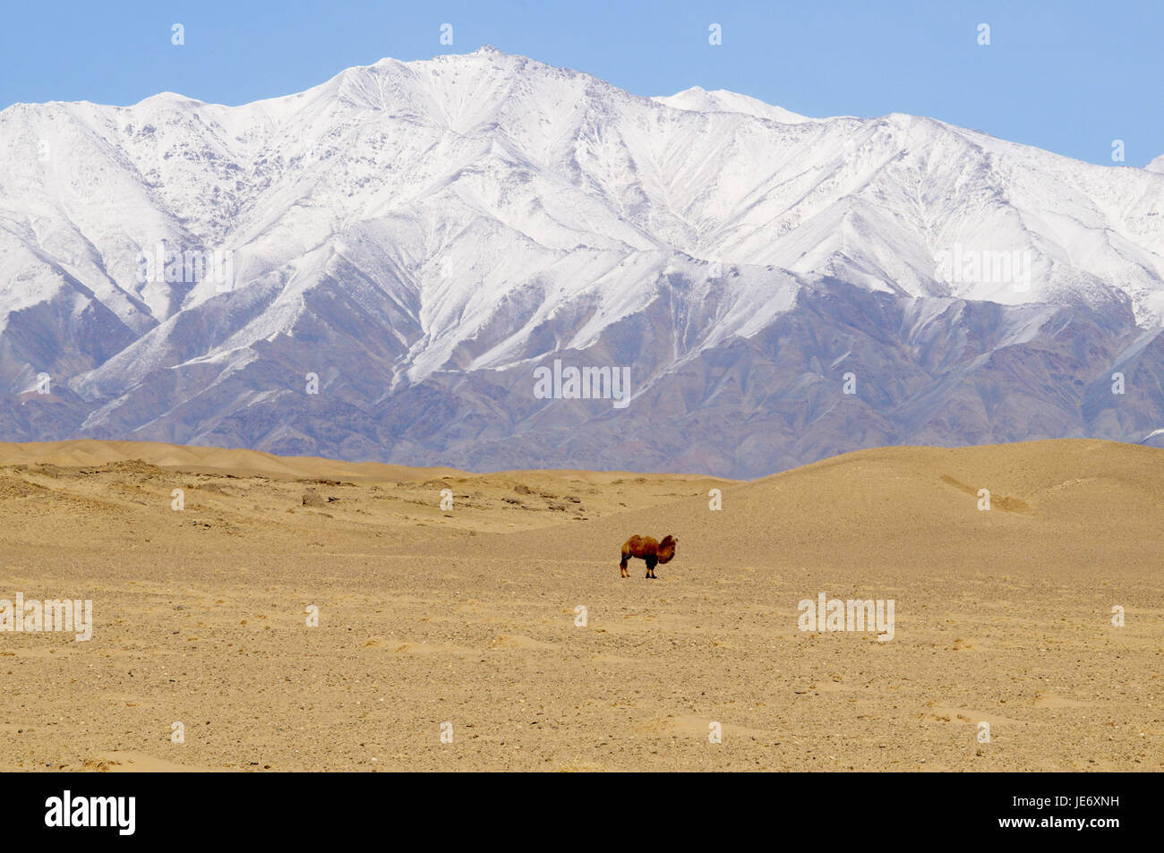 Mongolia, Khovd province, mountains, winter scenery, steppe, camel, - Stock Image