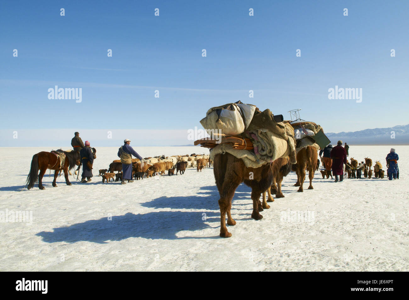 Mongolia, Khovd province, nomad, herd of cattle, camels, hike, steppe, winter, - Stock Image