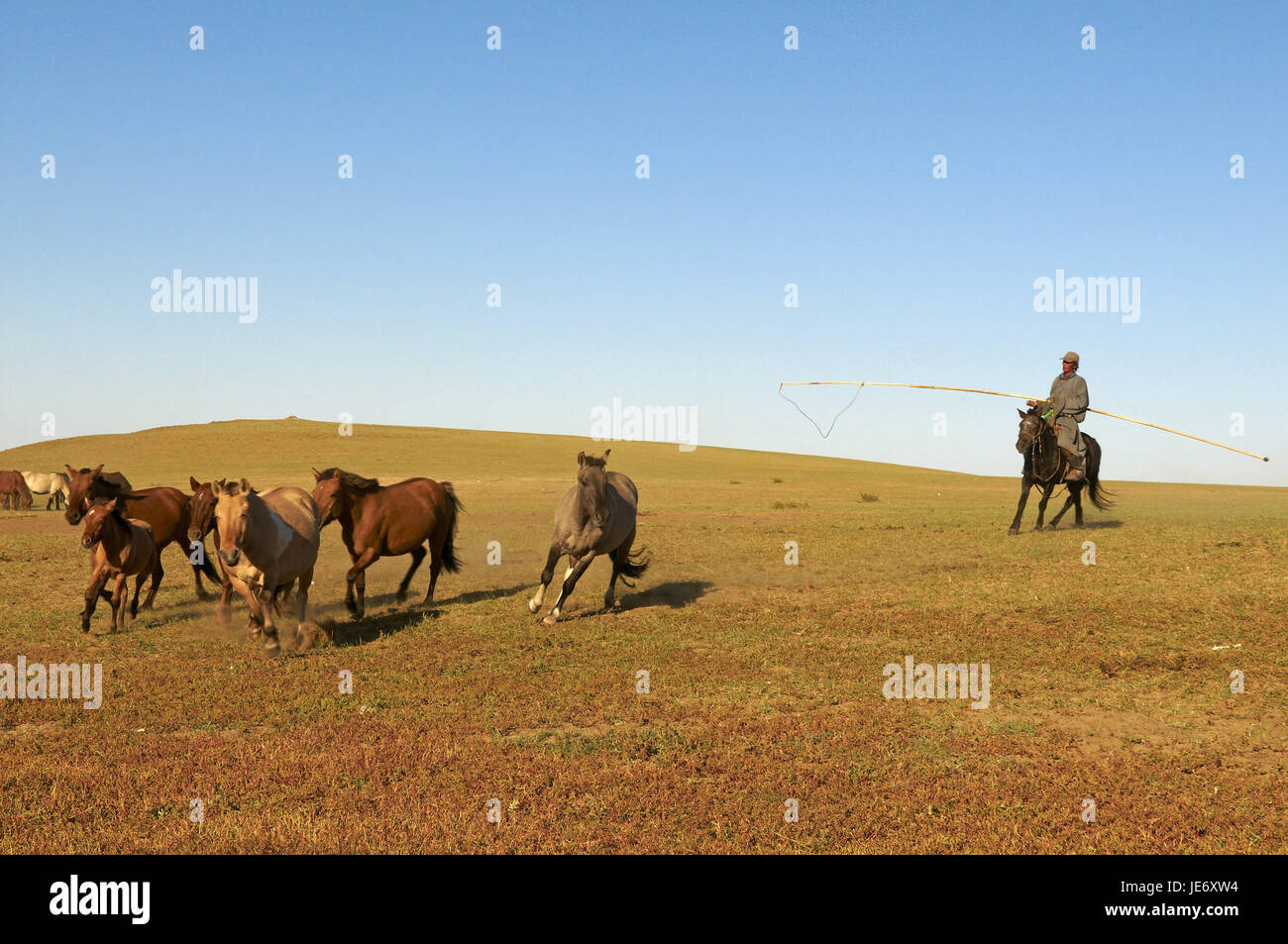Mongolia, Central Asia, Arkhangai province, nomad, man traps horses with the Urga, - Stock Image