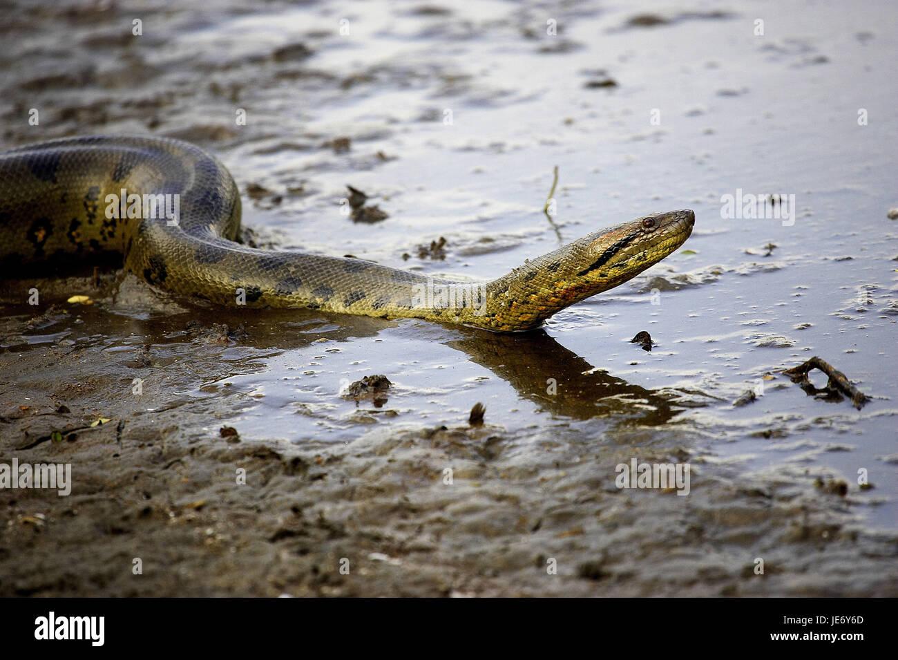 Big anaconda, Eunectes murinus, adult animal, water, batch