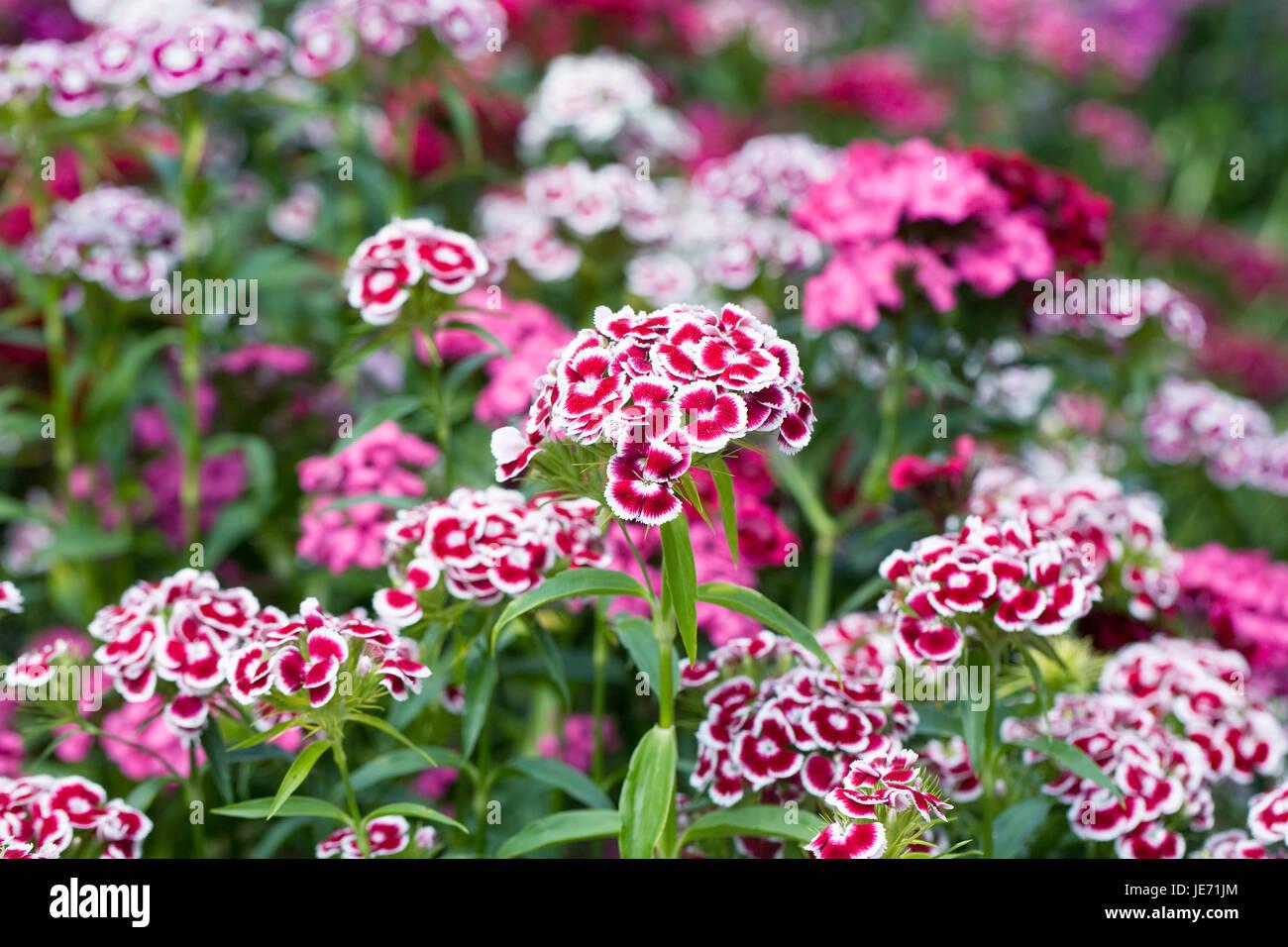 Dianthus barbatus. Sweet William flowers in Spring. - Stock Image