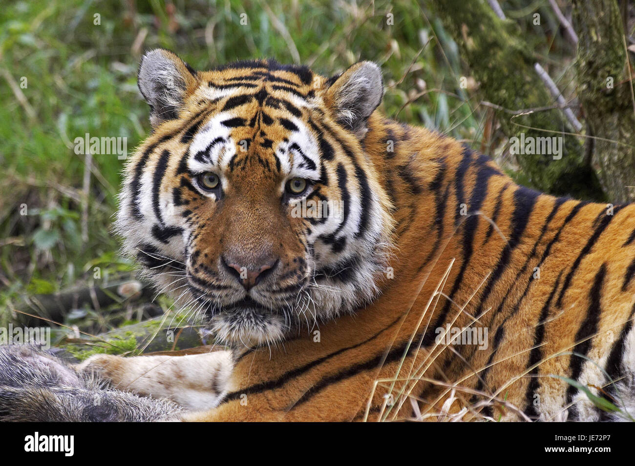Siberian tigers, Panthera tigris altaica, also Amur tiger, adult animal, wild boar, prey, - Stock Image