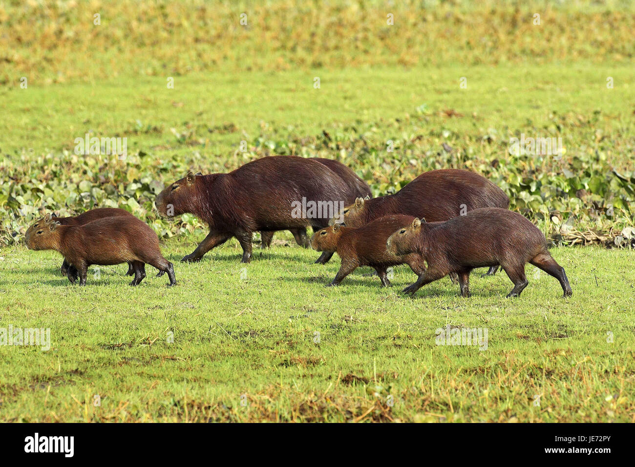 Capybara or water pig, Hydrochoerus hydrochaeris, the world-biggest rodent, batch Lianos, Venezuela, - Stock Image