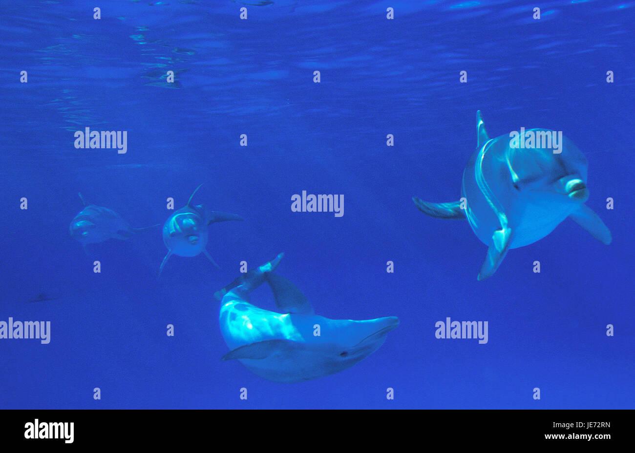 Big tumbler, Tursiops truncatus, adult animals, group, underwater recording, - Stock Image
