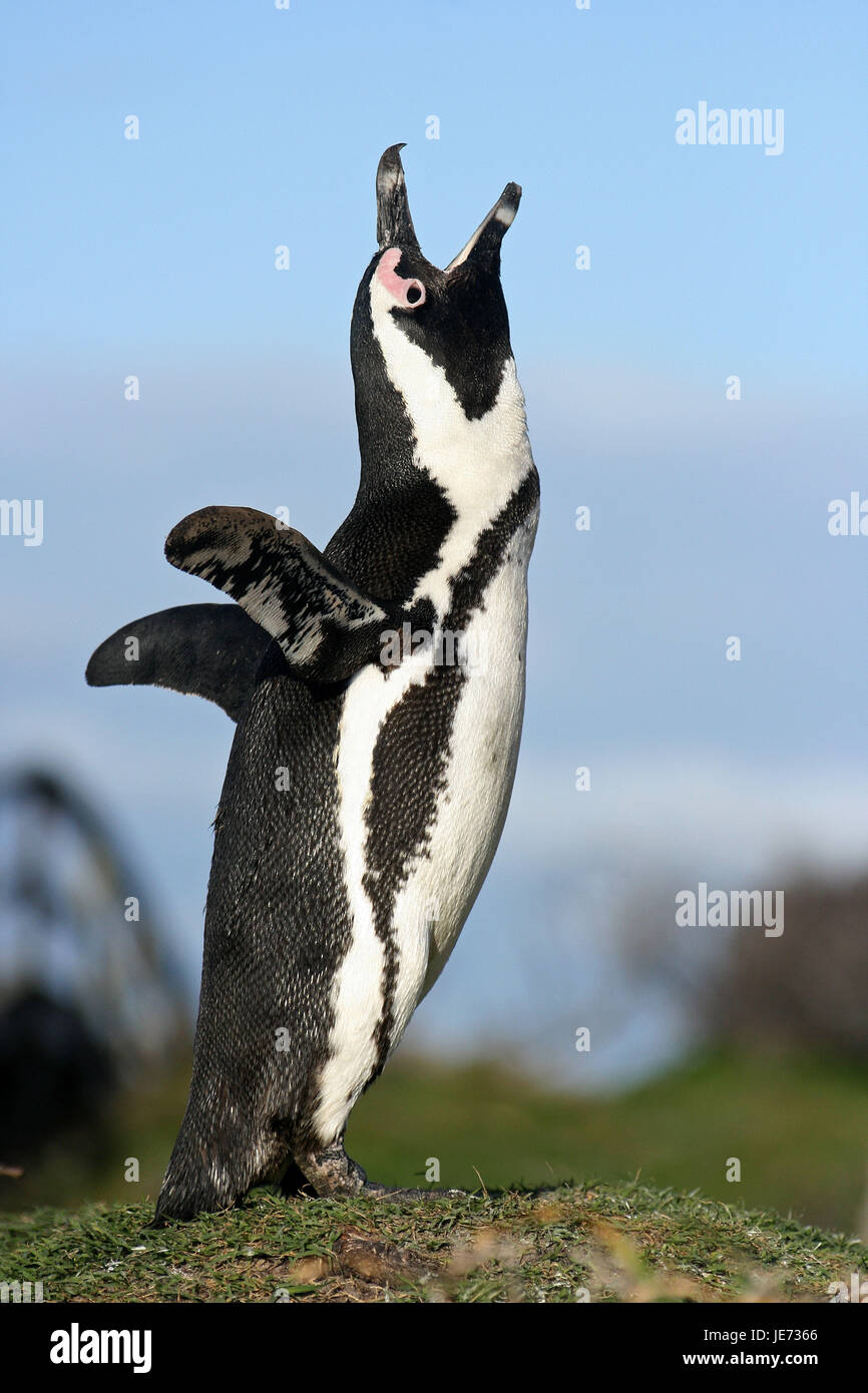 Glass penguin, Spheniscus demersus, adult animal, shout, Betty's Bay, South Africa, - Stock Image