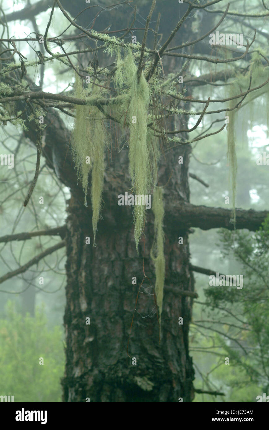 Tree, lichens, damp wood, Tenerife, the Canaries, - Stock Image
