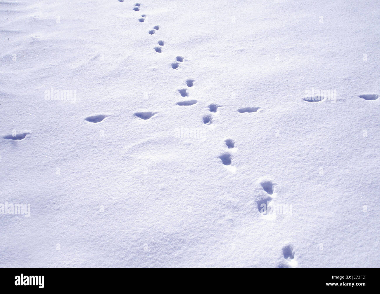 Animal tracks in the snow, - Stock Image