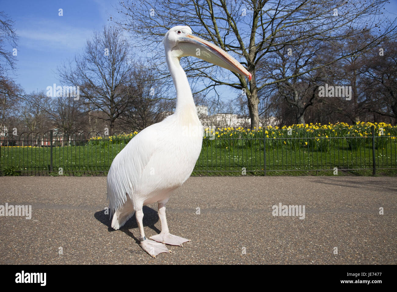 England, London, St. of James park, pelican, at the side, animals, park, spring, Pelecanidae, Pelecanus, water birds, - Stock Image