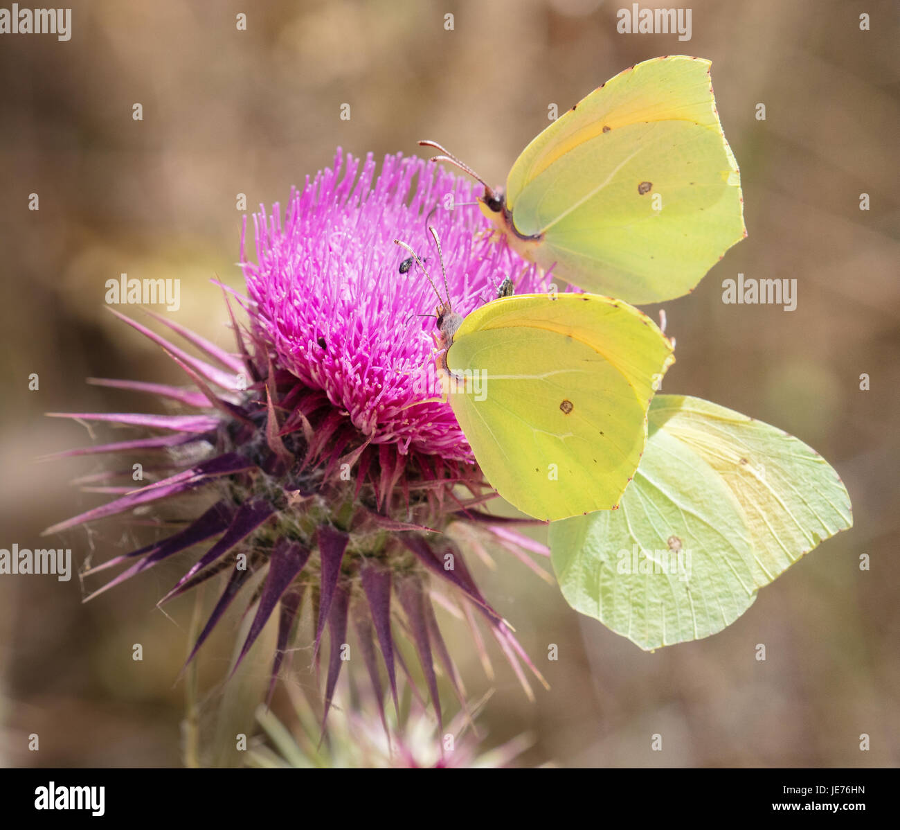 A trio of Cleopatra butterflies Gonopterix cleopatra feeding on thistle flower in Croatia - Stock Image