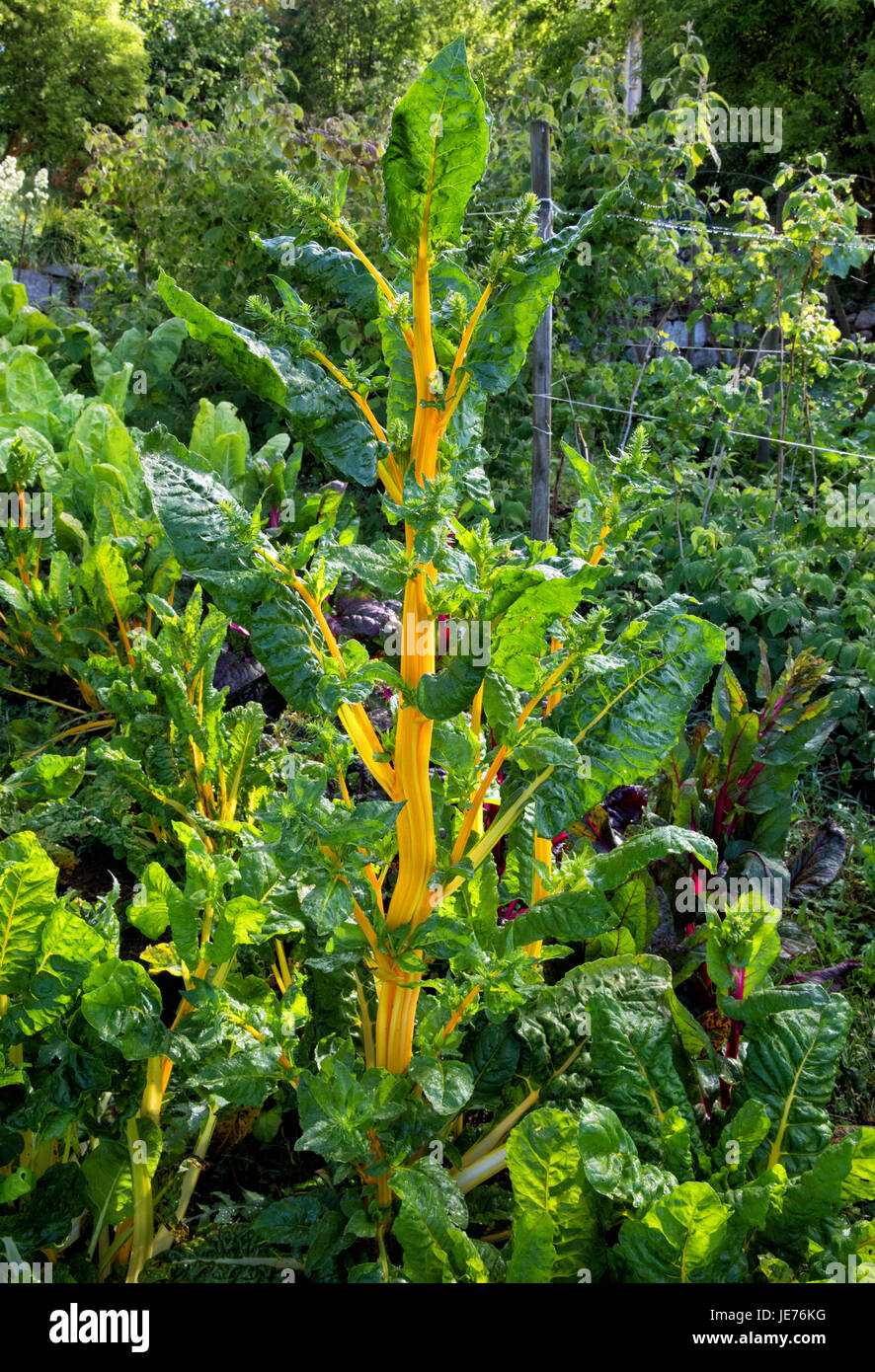 Organic rainbow chard or swiss chard ( Beta vulgaris ) with yellow leaf stalks growing in a Spanish vegetable garden - Stock Image