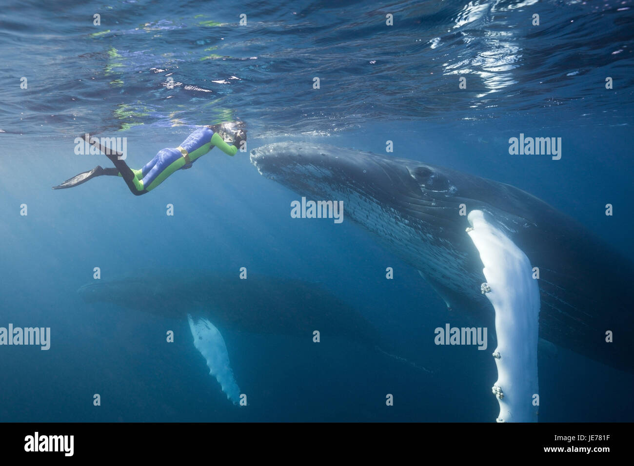 Snorkler and humpback whale, Megaptera novaeangliae, Silver bank, the Atlantic, the Dominican Republic, - Stock Image