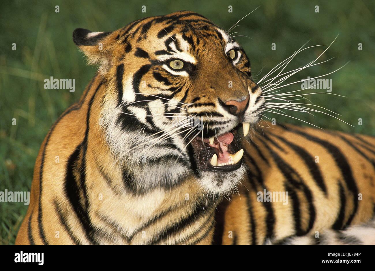 Sumatra tiger, Panthera tigris sumatrae, adult animal, portrait, - Stock Image