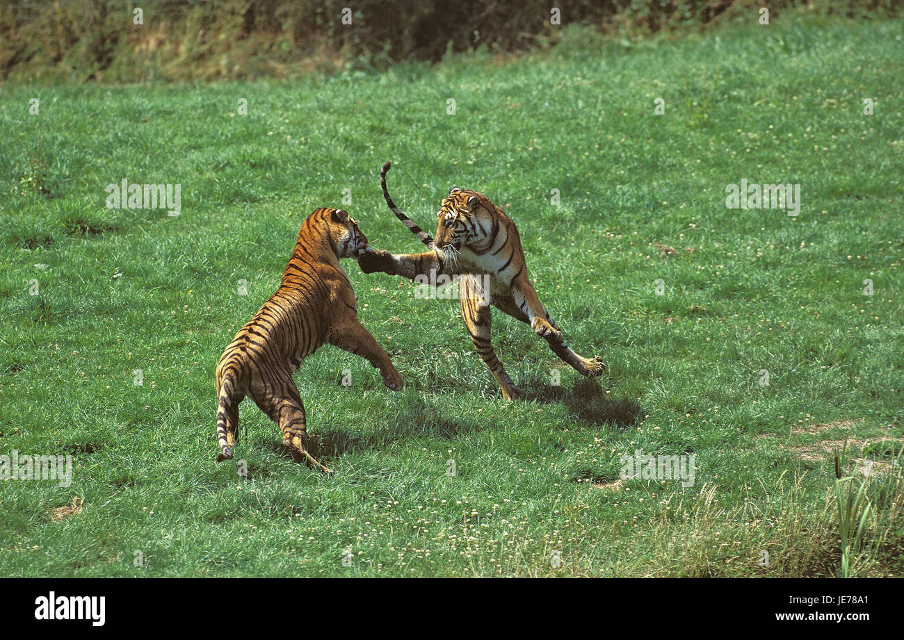 Bengali tiger, Panthera tigris tigris, adult animals, fight, - Stock Image