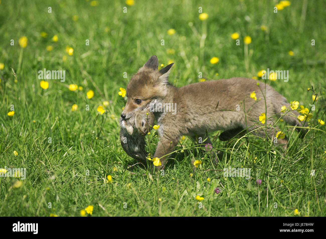 Red fox, Vulpes vulpes, puppy, wild rabbit, in the mouth, Normandy, - Stock Image