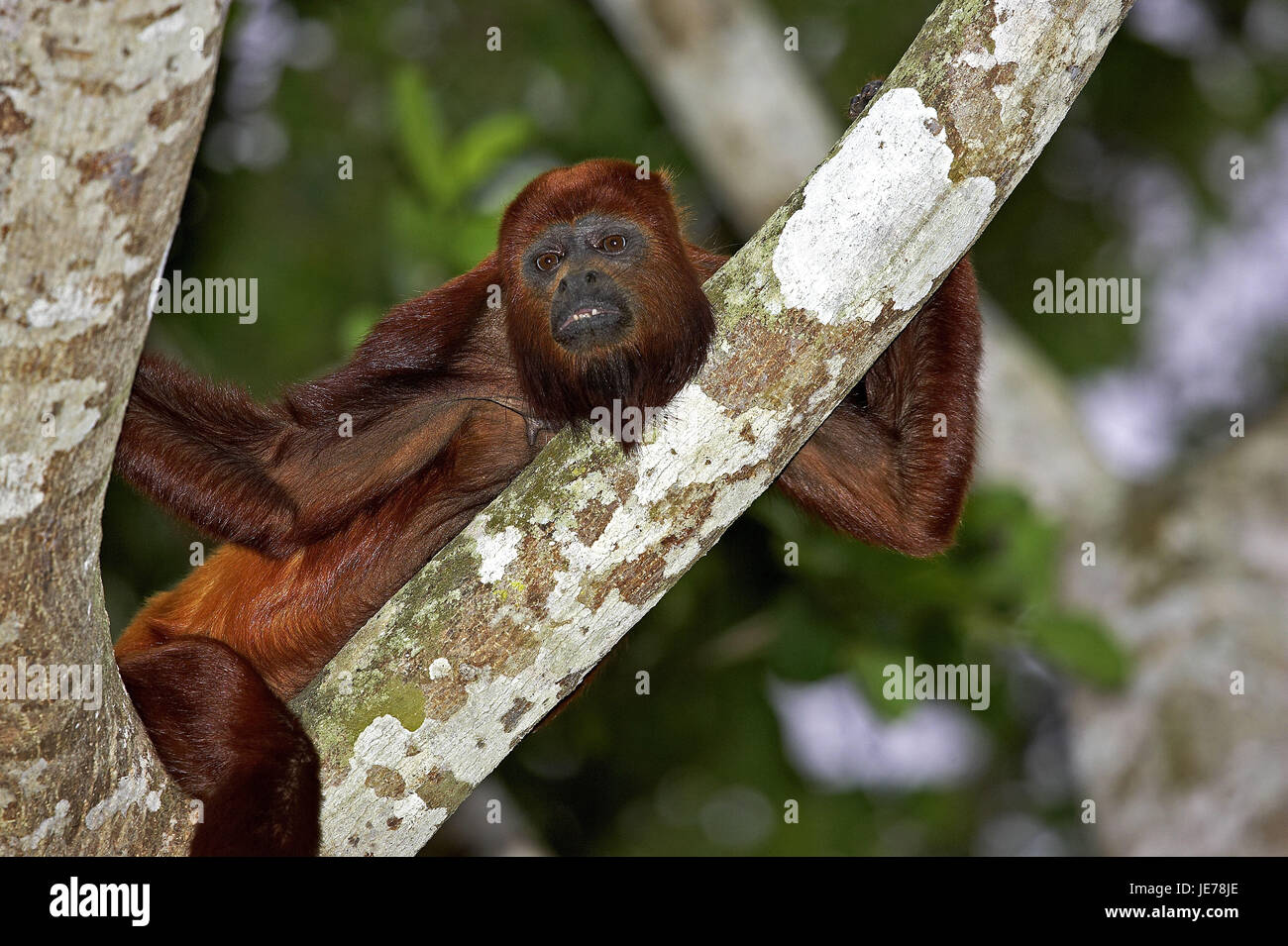 Red howling monkey, Alouatta seniculus, adult animal, stand, branch, batch Lianos, Venezuela, - Stock Image