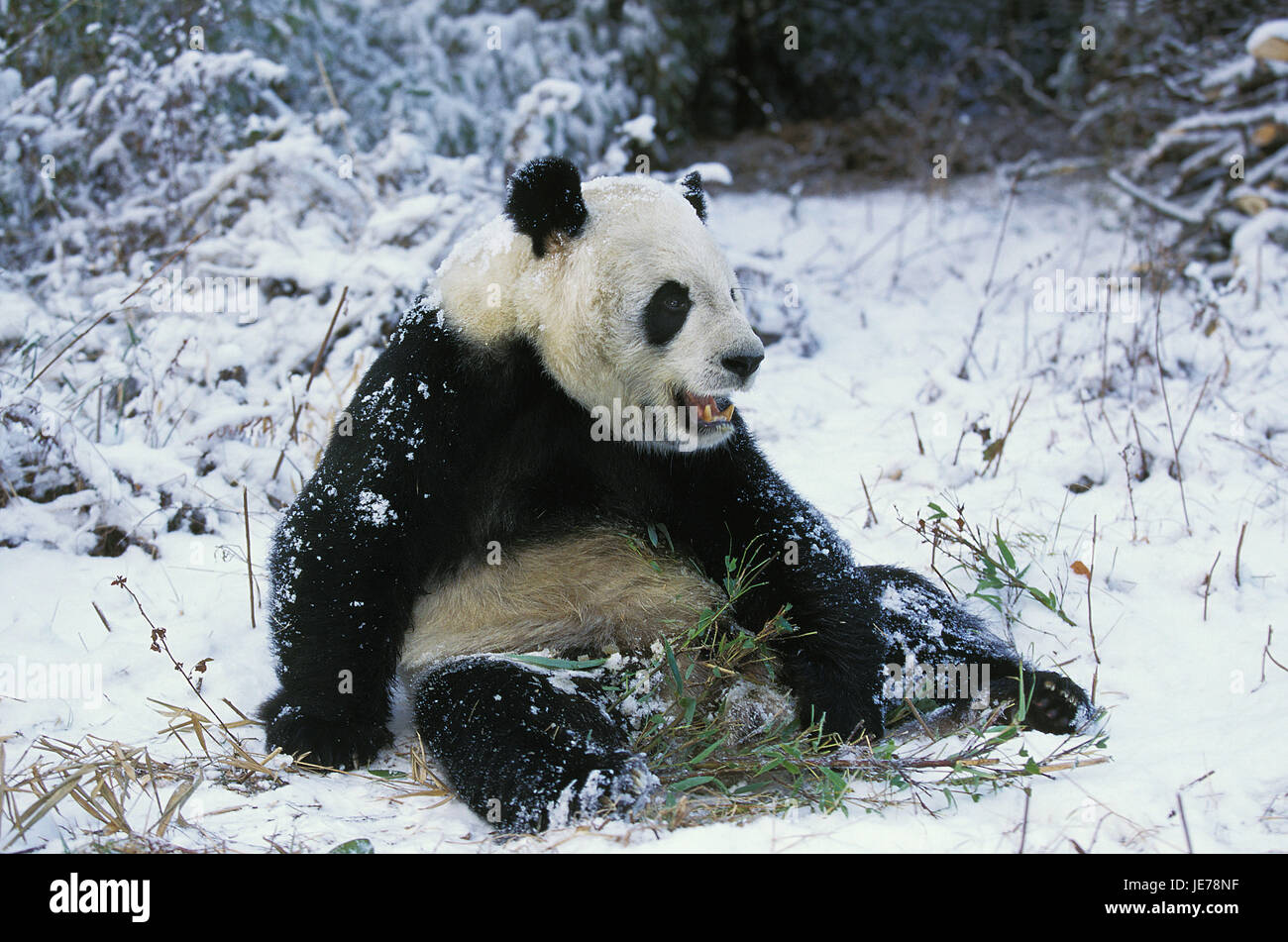 Big panda, Ailuropoda melanoleuca, adult animal, eat, bamboo, Wolong reserve, China, - Stock Image
