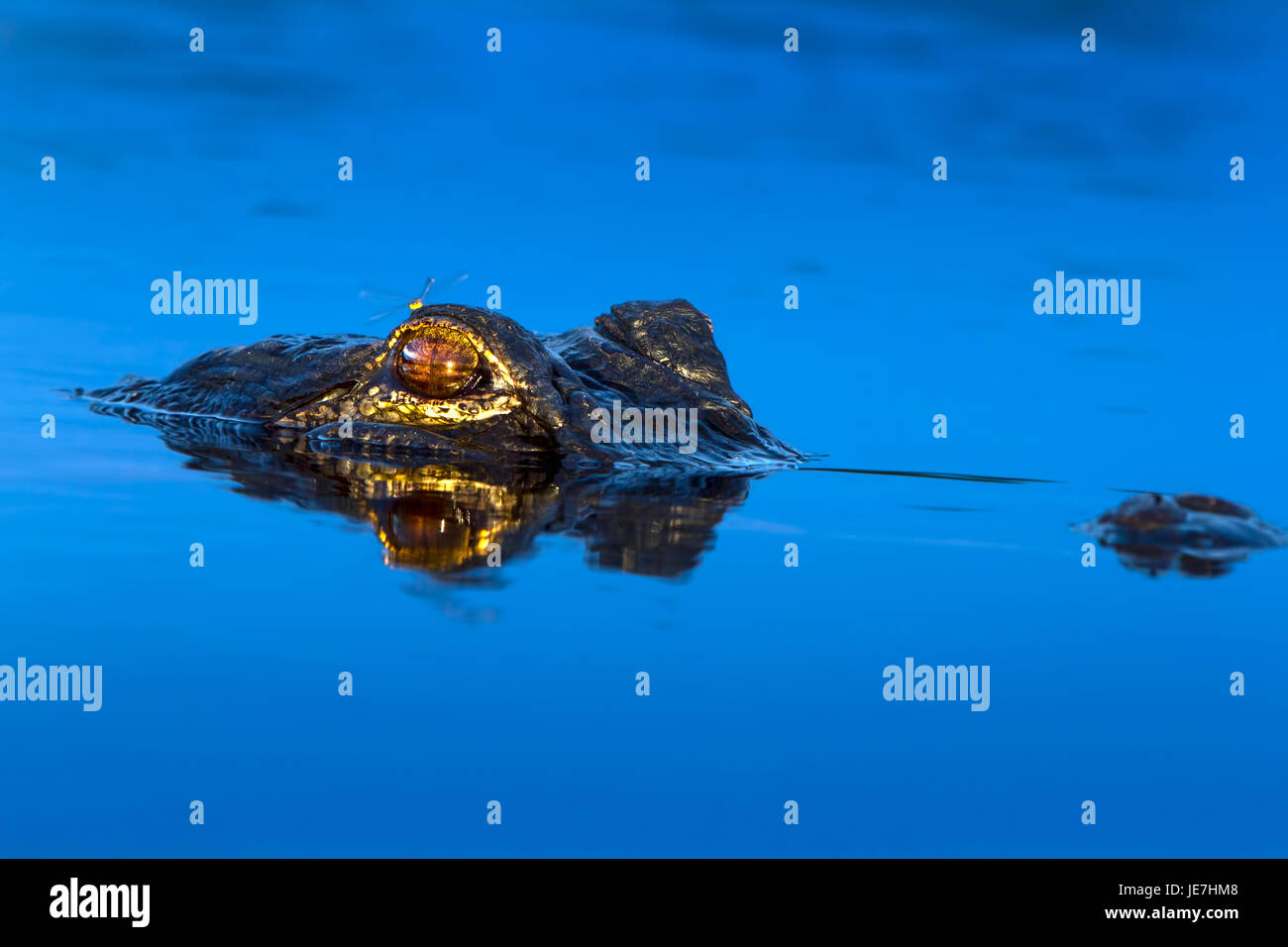 A large alligator at sunrise with a dragonfly perched on it's head. The American Alligator is an apex predator - Stock Image