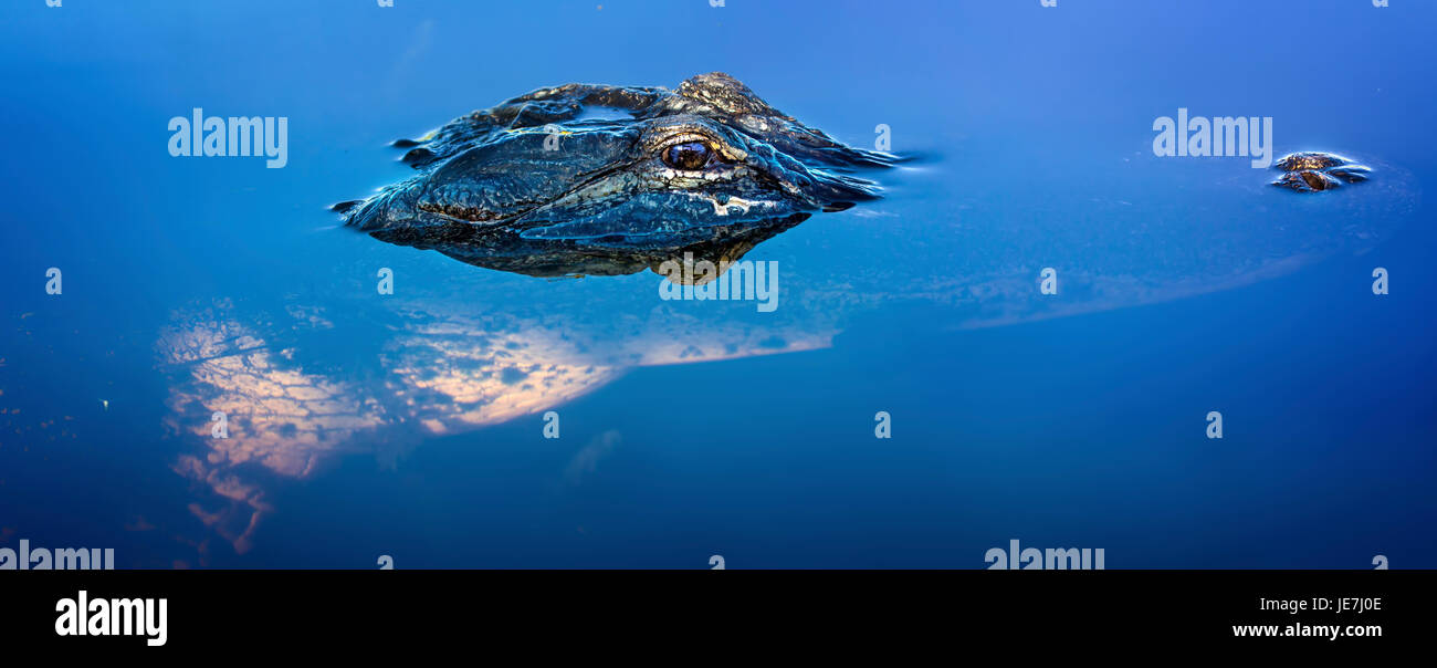 A 13 foot alligator in the Florida Everglades is captured in this panorama. The American Alligator is considered - Stock Image