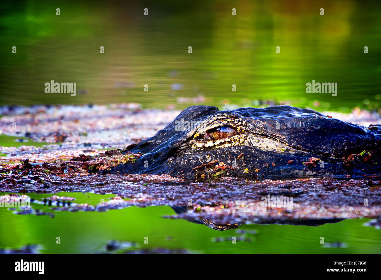 A big alligator at sunrise in the Florida Everglades. This gator is about 13 feet and always hangs out in the same - Stock Image
