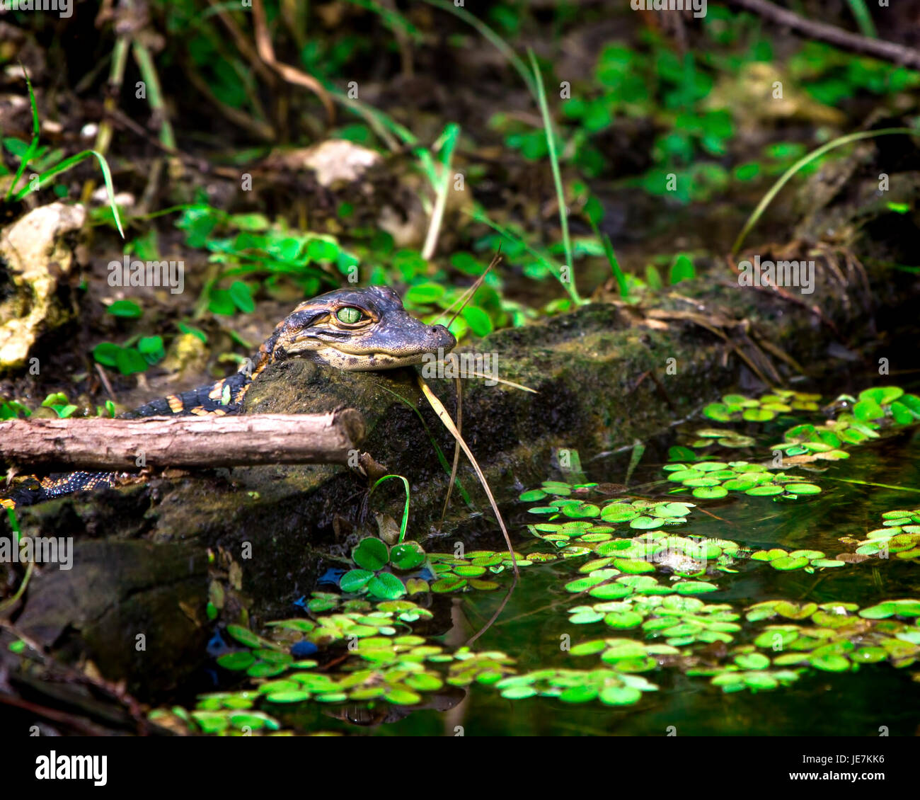 A baby alligator checks things out in the Florida Everglades. The mother alligator was keeping a close eye on thigs Stock Photo