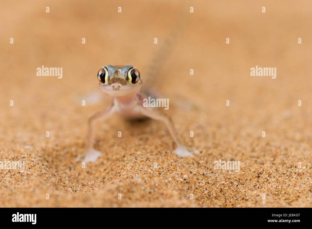 Close up a desert gecko, Namib desert, Namibia Stock Photo